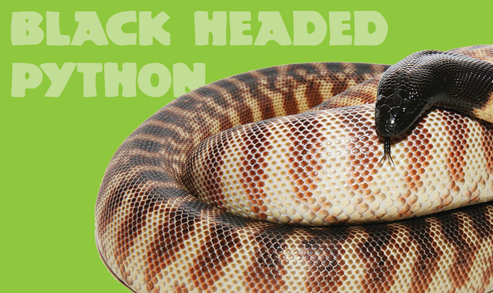 Black Headed Python