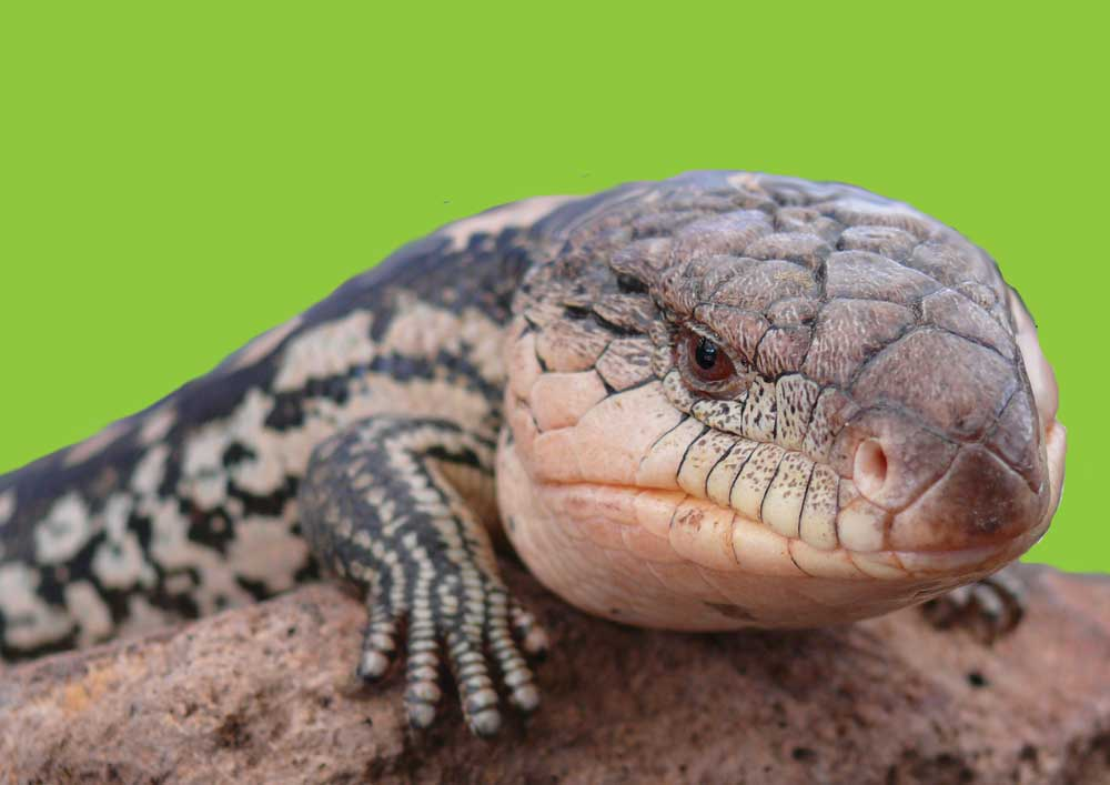 Blue-tongue lizards